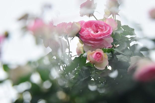 雨天の薔薇