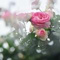 写真: 雨天の薔薇