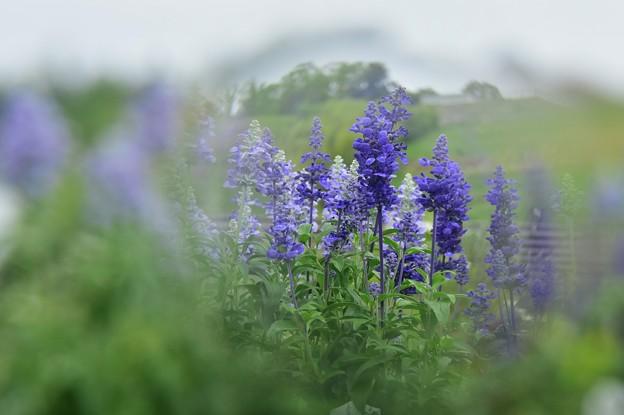 写真: ガーデンに咲くアジュガ(?)
