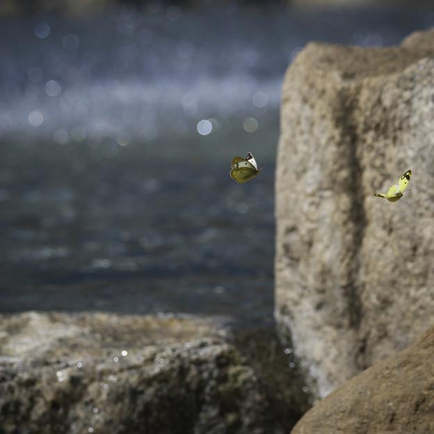 151002_山梨県北杜市・白州・尾白の森名水公園「べるが」_モンキチョウ_EA0241745_B36ED_1.1xDG_F6.1_X6As