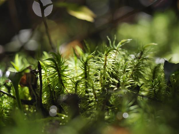 151002_山梨県北杜市・白州・尾白の森名水公園「べるが」_コケ仲間_FA0263408_MZD60M_X6As