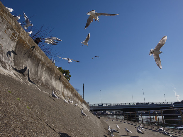 Photos: 160302_横浜市鶴見区・鶴見川_飛翔<ユリカモメ>_F30281512_MZD12ZP_X6As
