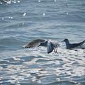 180302_茅ヶ崎・柳島海岸_飛翔<ユリカモメ>_G180302P1404_MZD300P_X8Ss