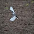 サンヨン で撮った 野鳥類-4