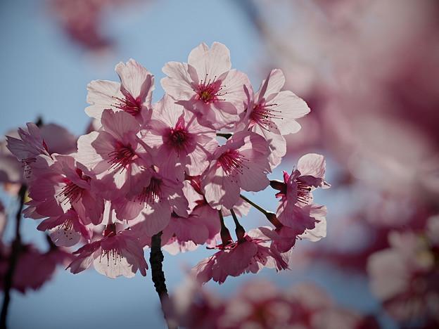 190404_相模原市緑区・城山かたくりの里_サクラ「おかめ桜?」_G190404XF3612_MZD300P_FH_C-SG_FS1_X9Ss
