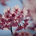 Photos: 190404_相模原市緑区・城山かたくりの里_サクラ「おかめ桜?」_G190404XF3612_MZD300P_FH_C-SG_FS1_X9Ss