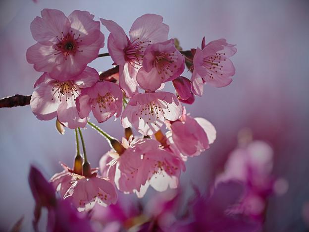 190404_相模原市緑区・城山かたくりの里_サクラ「陽光桜?」_G190404XF3603_MZD300P_FH_C-SG_FS1_X9Ss