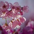 Photos: 190404_相模原市緑区・城山かたくりの里_サクラ「陽光桜?」_G190404XF3603_MZD300P_FH_C-SG_FS1_X9Ss