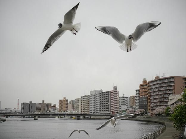 190412_横浜市鶴見区・鶴見川_飛翔<ユリカモメ>_G190412XF6613_MZD12ZP_X9Ss