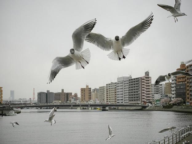 Photos: 190412_横浜市鶴見区・鶴見川_飛翔<ユリカモメ>_G190412XF6726_MZD12ZP_X9Ss