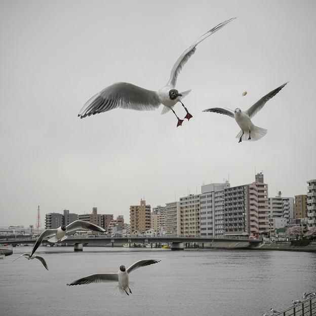 Photos: 190412_横浜市鶴見区・鶴見川_飛翔<ユリカモメ>_G190412XF6767_MZD12ZP_X9Ss