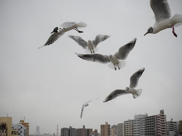 Photos: 190412_横浜市鶴見区・鶴見川_飛翔<ユリカモメ>_G190412XF6862_MZD12ZP_X9Ss