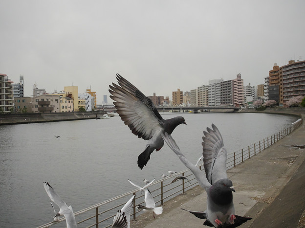 Photos: 190412_横浜市鶴見区・鶴見川_飛翔<ドバト>_G190412XF5872_MZD12ZP_X9Ss