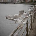 Photos: 190412_横浜市鶴見区・鶴見川_羽ばたき<ユリカモメ>_G190412XF7011_MZD12ZP_X9Ss