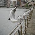 Photos: 190412_横浜市鶴見区・鶴見川_飛翔<ユリカモメ>_G190412XF6954_MZD12ZP_X9Ss
