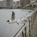 Photos: 190412_横浜市鶴見区・鶴見川_飛翔<ユリカモメ>_G190412XF6955_MZD12ZP_X9Ss
