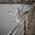 Photos: 190412_横浜市鶴見区・鶴見川_羽ばたき<ユリカモメ>_G190412XF7010_MZD12ZP_X9Ss