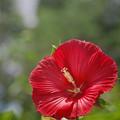 Photos: 190805_平塚・花菜ガーデン_アメリカフヨウ?_F190805J1460_B36ED_1.1xDG_X9Ss