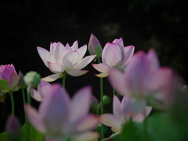 190805_平塚・花菜ガーデン_ハス_F190805J1443_B36ED_1.1xDG_X9Ss