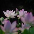 Photos: 190805_平塚・花菜ガーデン_ハス_F190805J1443_B36ED_1.1xDG_X9Ss