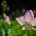 190805_平塚・花菜ガーデン_ハス_F190805J1450_B36ED_1.1xDG_X9Ss