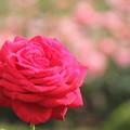 写真: 春バラ2