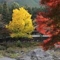 写真: イチョウと紅葉
