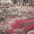 写真: 湯河原梅林