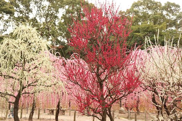 Photos: 結城神社 しだれ梅