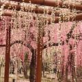 写真: 結城神社 しだれ梅 その2