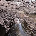 Photos: 石神井川 桜