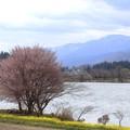 木崎湖 桜