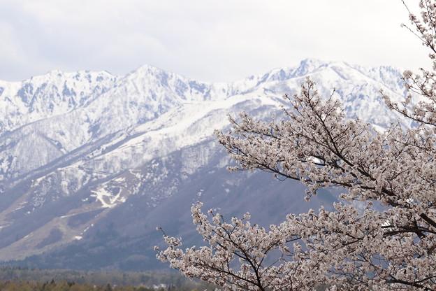 伝行山 桜