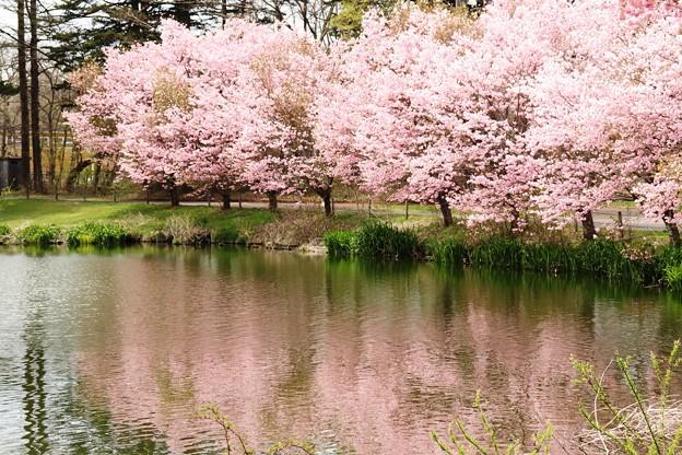 軽井沢プリンスホテルの桜