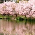 Photos: 軽井沢プリンスホテルの桜