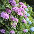 飛鳥山公園 紫陽花01