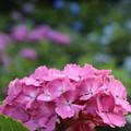 飛鳥山公園 紫陽花02
