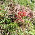 Photos: 彼岸花と蝶
