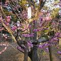 写真: 長岡天満宮  八重寒紅梅