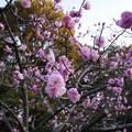 写真: 長岡天満宮 梅はまだ咲き始め