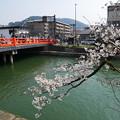 疎水周辺の桜