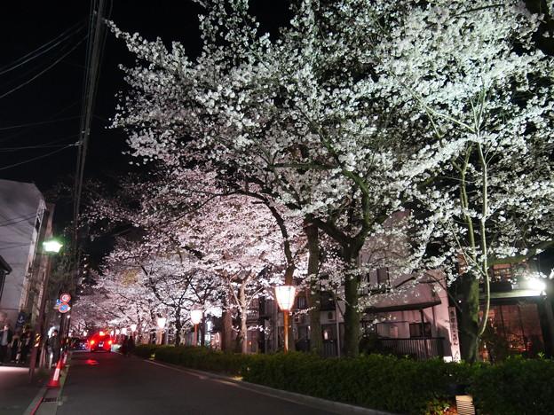 木屋町の夜桜