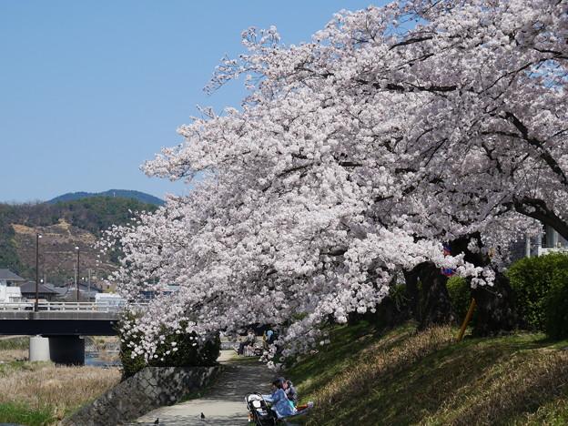 法の字と桜