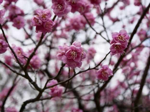 2019 京都御所の梅苑より 03