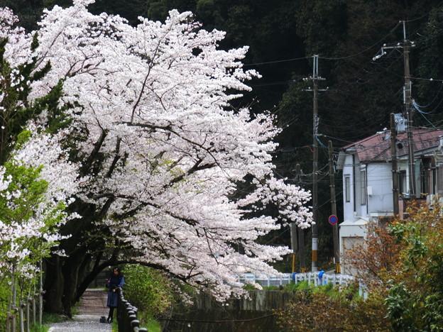 桜2019 錦林車庫 裏 02
