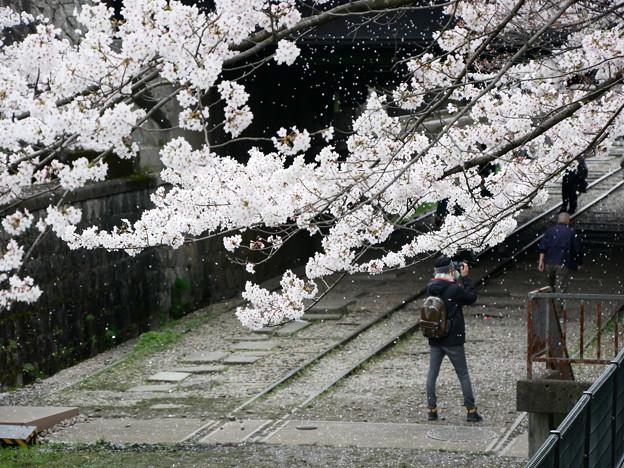 桜 2019 インクライン