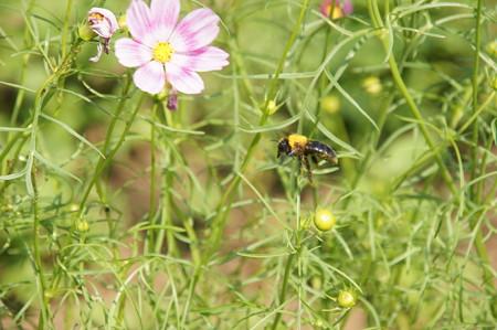 コスモスに集うミツバチ