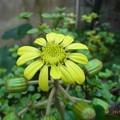 写真: ツワブキ開花