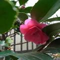 写真: ツバキ開花!