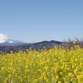 Photos: 富士山と菜の花7